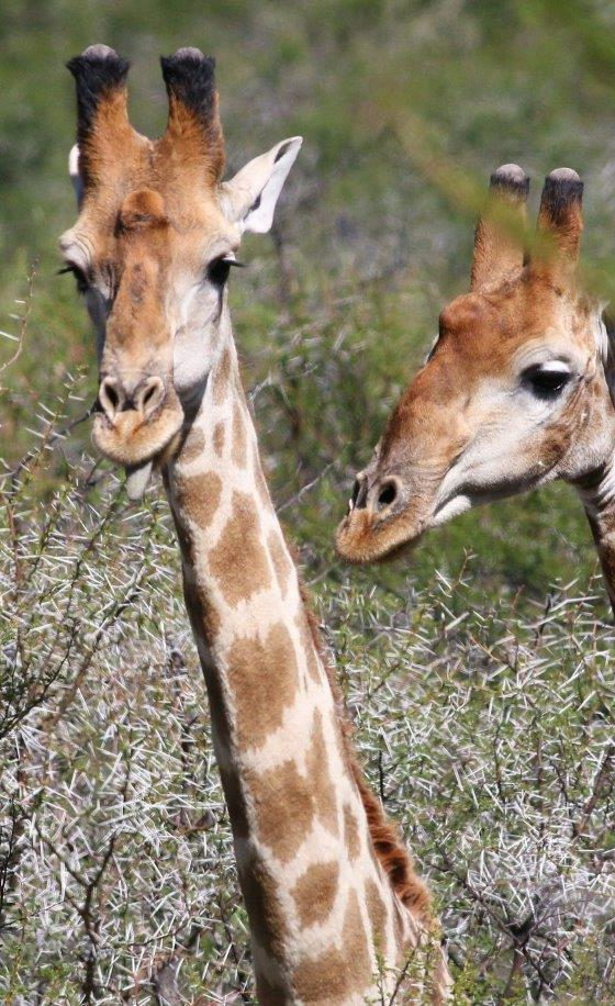 Beaufort West wildlife giraffe